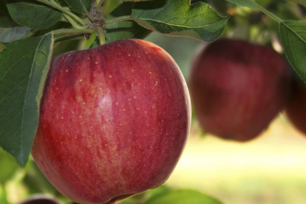 Tree Top original apple sauce